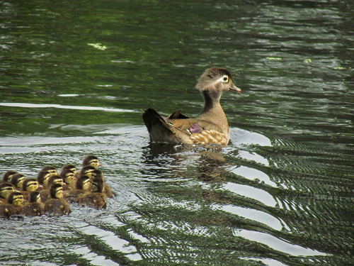Mama Wood Duck and 17 Ducklings