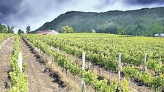 Entre los (viñedos) más australes del mundo (Chubut y Santa Cruz)