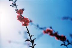 Flower (Appleping) Tags: apple 50mm spring f14 sunny 100  agfa f28 45mm      apotar   eosv30