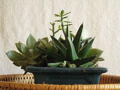 IMG_5654 (Plantules) Tags: plants plant plante succulent grasse agave opuntia victoriae reginae plantes succulentes succulente etiennecazin spathulata pereskiopsis