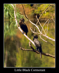 Little Black Cormorant (wijew) Tags: black australia dev cormorant soe littleblackcormorant lanecovenationalpark blueribbonwinner ef75300mmf456 shieldofexcellence devwijewardane excapture wijewardane