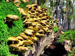 Just common Sulfur Tuft (Bn) Tags: wood nature mushroom topf25 germany topf50 heart forrest fungus soe breathtaking tuft paddestoel rhn sulphurtuft splendiferous amazingtalent 50faves sulfurtuft 25faves zwavelkopjes naturefinest firsttheearth infinestyle diamondclassphotographer megashot wowoekazowie ishflickr ysplix amazingamateur excapturemacro dwergzwavelkopje gewonezwavelkopje grnblttrigerschwefelkopf