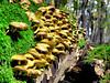Just common Sulfur Tuft (B℮n) Tags: wood nature mushroom topf25 germany topf50 heart forrest fungus soe breathtaking tuft paddestoel rhön sulphurtuft splendiferous amazingtalent 50faves sulfurtuft 25faves zwavelkopjes naturefinest firsttheearth infinestyle diamondclassphotographer megashot wowoekazowie ishflickr ysplix amazingamateur excapturemacro dwergzwavelkopje gewonezwavelkopje grünblättrigerschwefelkopf