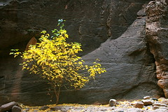Tree and Rocks, Lower Narrows in Zion's National Park