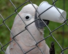Hhhmmm........OJ......Glug (;~)> (John Godfrey Schellinger) Tags: bird animal highlands center exotic tropical panama macaw parrots sanctuary refuge paradisegardens reintroduction rehabilition