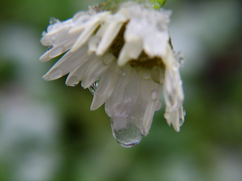 Frozen Drops On A Daisy