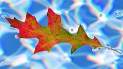 Color Afloat (Jeff Clow) Tags: color macro nature closeup leaf bravo colorful dfw d300 sigma105mm nikond300 frjrc