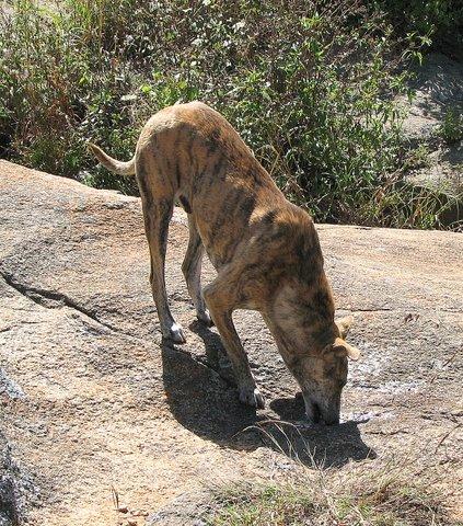 the Sambar Tiger Dog