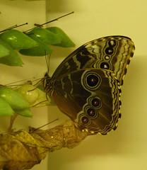 Butterfly 15420