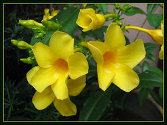 Allamanda cathartica 'Golden Butterfly' (Yellow Allamanda, Golden Trumpet) in our garden, Dec 5 2007