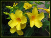 Allamanda cathartica 'Golden Butterfly' (Yellow Allamanda, Yellow Bell, Golden Trumpet, Buttercup Flower)