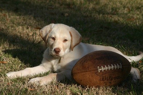 Jackson, the labrador retriever quarterback
