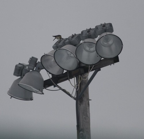 Kestrel on Light Tower