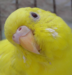 Little Bear (Parakeet - Osita) (mmw1024) Tags: bear pet bird animal little australia paloma australiano parakeet pajaro rem mascota periquito perico osita remparakeet