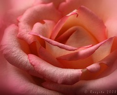 True Romance (Roszita) Tags: pink flower macro up rose petals close romance blush soe platinumphoto ysplix scarletrose77 roszita