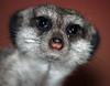 Meerkat at the Zoo - PAD #1009