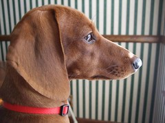 just watching. (ilhk_) Tags: light red dog brown sun sunlight cute window out puppy nose miniature eyes waiting looking expression background stripes ears mini dachshund whiskers collar minidachshund miniaturedachshund concentrated