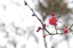 plum-blossom (matabeee) Tags: flower ume plumblossom 梅 nikond80