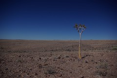lonely tree (eeyan) Tags: tree nature landscape bluesky minimal namibia lonelytree fishrivercanyon quivertree pentaxk10d justpentax scenicsnotjustlandscapes