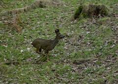 Running Deer 1 (Sandy Beach Cat) Tags: wood uk tree nature scotland stag wildlife running doe deer lothian rearing