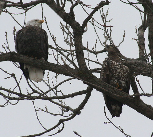 bald eagles in tree together 4