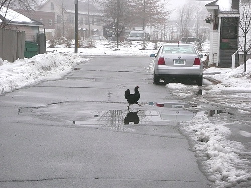 Why did the chicken cross the road...