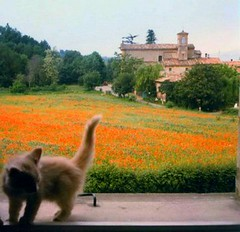 Pets (from my window) (chiar@s.) Tags: italy pet church cat kitten scanner poppies italians emiliaromagna papaveri mywindow naturescall chiaras goldenmix wonderfulworldmix treeofhonour gaibolabo