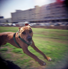 34270011.jpg (dogseat) Tags: dog blur puppy fun holga action run pit ishootfilm pitbull freeze freezeframe pup caught leap boudin