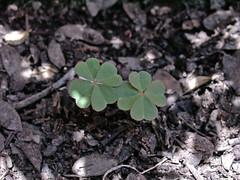 Twice Lucky!! (Rave_n) Tags: plants luck lucky clover leafs clovers trebols trebol treboles