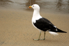 Ga-viota (_Koba_) Tags: chile blanco colorado negro arena pico patas alas valparaso gaviota caletaportales