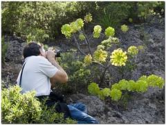 Los Brezos_006 (maturum) Tags: flora tenerife pinos islascanarias montes bosques barrancos verode aeoniummanriqueorum brezos maduroman bejeques tabaibas