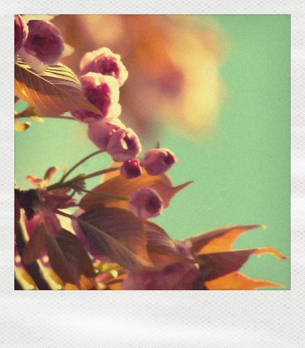 pola cerisier japonais