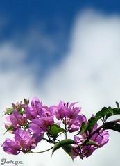 Choque entre o Azul e o Cacho de Accias (no caso Primavera) (Jorge L. Gazzano) Tags: flor sonyh9 pedreirasp jorgelgazzano