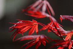 Japanese maple red (j_wijnands) Tags: red tree d50 maple acer japonicum tokina100mmf28atxprod pleasecontactmeifyouwanttouseapicturejeroenwijnandsatgmailcom