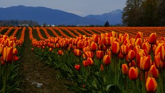 Blooming everywhere (tollen) Tags: red orange colors washington spring tulips skagit bec 2008 iamgone