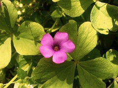 Pink Flower I (Elanorya) Tags: pink flower verde green nature rosa erba solo piccolo terra fiore acqua fucsia solitario fuoco aria giardino trifogli