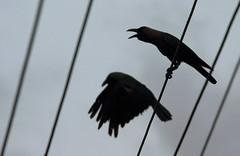 A Crow love song ... (dr ama) Tags: deleteme5 deleteme8 deleteme deleteme2 deleteme3 deleteme4 deleteme6 deleteme9 deleteme7 saveme deleteme10 drama canon70200f4is canon40d