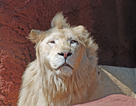 White Lion Mohawk