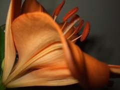 Lirio (Lumiago) Tags: flor lirio naranja enjoylife saveearth
