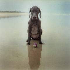 play. with me. (saikiishiki) Tags: ocean camera blue portrait favorite dog chien reflection cute love film beach dogs ball puppy square geotagged toy grey la interesting eyes sand waiting flickr play florida expression ghost gray overcast hond scan fave perro hund weimaraner 500v50f le memory kawaii expressive 5bestdogs fav miss unicorn weimaraners flagler disposable  perra inu omoshiroi weim blueribbonwinner squidoo vorstehhund cotcmostinteresting 20f cotcmostfavorited weims thelittledoglaughed artlibre rolyn diamondclassphotographer flickrdiamond artlibres photostosmileabout platinumheartaward offleashdogbeach dogfriendlybeach waimarana rubyphotographer saikiishiki dragondaggerphoto