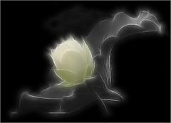Fractalius Lotus Flower with a touch of green - IMGP0585 (Bahman Farzad) Tags: flower macro green fleur yoga de peace lotus relaxing peaceful meditation therapy 莲花 گل lotusflower lotusflowers lotuspetal 연꽃 lotuspetals कुंद lotosblume ハスの花 fractalius fractaliuslotusflower لوتوس lotusflowerpetals lotusflowerpetal