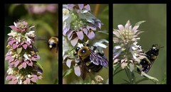 Bee Tryptych