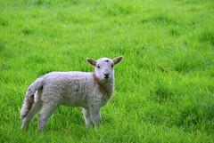 Welsh Lamb (mrlee_1979) Tags: baby field animal wales spring alone sheep stare lamb feild iloveit blueribbonwinner artisticexpression abigfave impressedbeauty diamondclassphotographer flickrdiamond goldwildlife life~asiseeit natureselegantshots qualitypixels llovemypics