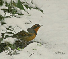 Varied Thrush, Cordova Bay (kellermartha453) Tags: varied thrush pair ground forager backyard long whistled notes eerie haunting ethereal varying pitches morning air native oregon grape shrub snow darkeyed juncos spill seed feeders