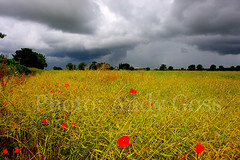 The Moody Poppies (Andy_Goss) Tags: storm moody stormy poppies irishlandscape vanagram updatecollection ucreleased gettyimagesirelandq1
