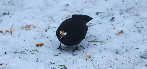 Blackbird with Cake 2