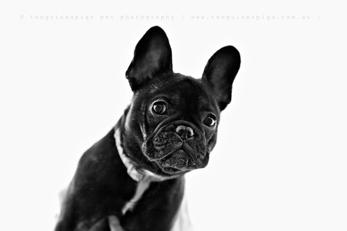 Rosie the French Bulldog, pet portraiture by twoguineapigs Pet Photography, sydney dog photographer