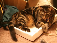 Tiggy on his styrofoam2 (ChicagoGoldy) Tags: cats pets animals felines