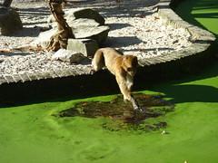 Berberaap (Femke Utr) Tags: rhenen ouwehandsdierenpark berberaap
