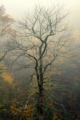 Stately Beauty (Jim Vail Photos) Tags: fallleaves mountains tn townsend smokymountains godsartwork flickrgold treesubject jimindestin jimvailphotos
